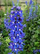 Delphinium King Arthur Appx 50 seed